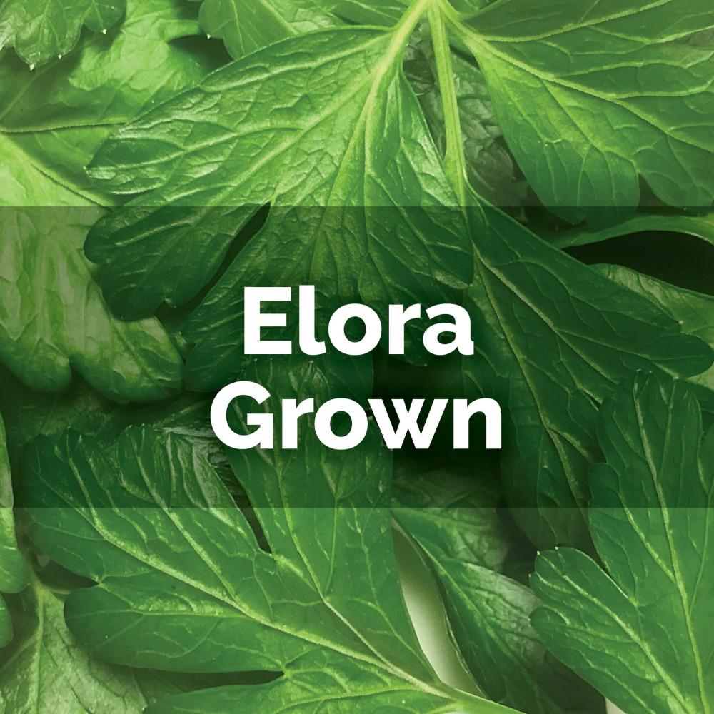 Fresh Parsley - Italian Flat Leaf