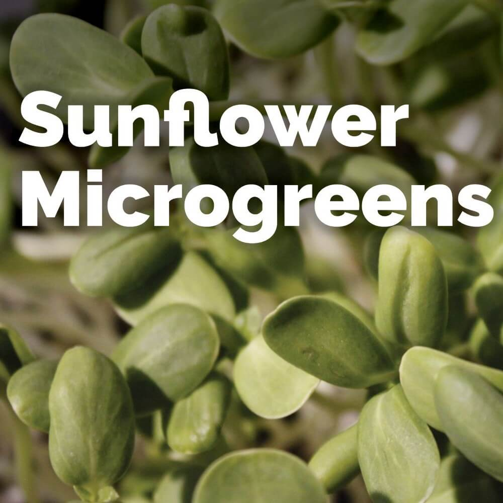 Sunflower - Microgreens